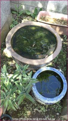 今年の夏に叔母の墓参りに。墓地の入口の水場の傍にあるメダカ鉢。